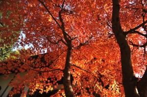 お寺下の紅葉、今年も見事です。